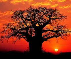 Boabab tree in Sunset